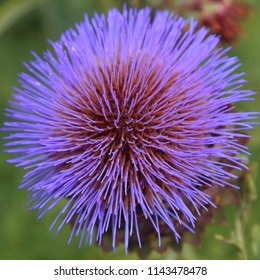 Close-up of Cynara cardunculus ( commonly known as cardoon, artichoke thistle, or wild artichoke) in bloom