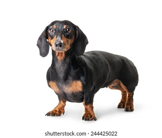 Close-up of Dachshund isolated on white background