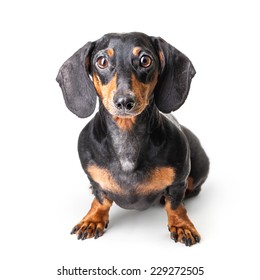 Close-up of Dachshund on white background