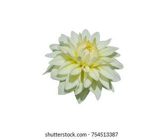 Closeup Dahlia or Dalia isolated on white background