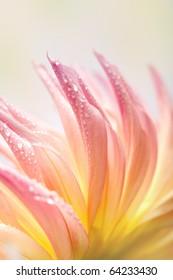 Closeup of dahlia flower macro studio shot