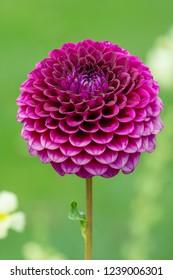 Closeup of a dahnlia flower blossom in the garden