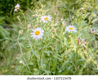 Closeup of daisies in a field.