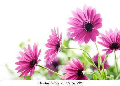 Closeup of daisy flower,Shallow Dof.