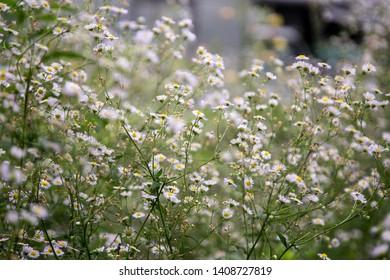 Closeup of daisy in garden . Bellis perennis