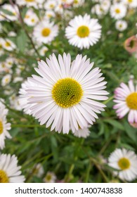 a close-up of a daisy in the middle of other daisies