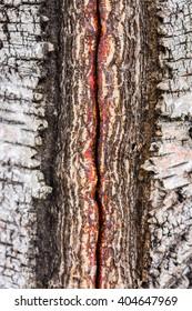 Closeup of damaged birch tree bark
