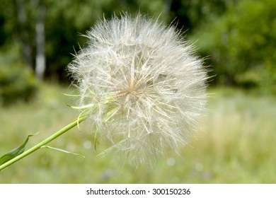 Closeup of dandelion against green background