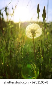 Closeup of dandelion against sunset.
