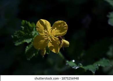 """Acercamiento de una flor de Dandelion (Arugula o Rúgula """"Diplotaxis tenuifolia""""), con cuatro pétalos de forma cruzada amarilla y un insecto himenopterano con cabeza morada y cuerpo metálico."""
