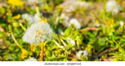 closeup of a dandelion flower seed head, parachute seeds, seed dispersion of a wild flower