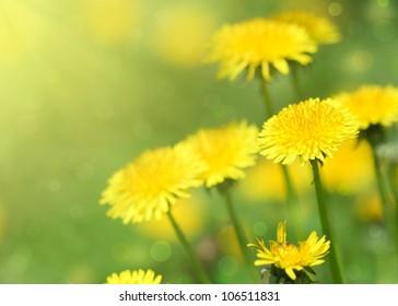 Close-up of dandelion flower.Spring background.