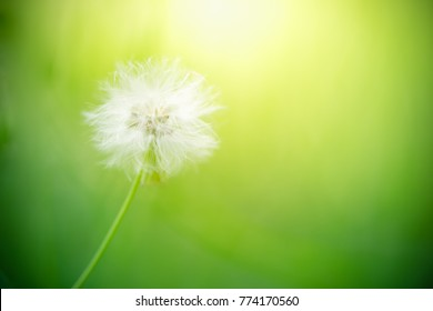 Closeup of dandelion with green copy space using as background or wallpaper  nature concept.