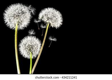 Close-up of dandelion isolated on black background