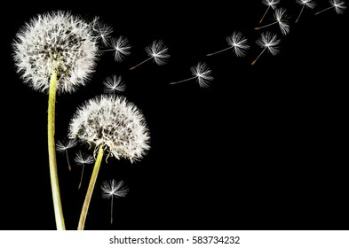 Close-up of dandelion isolated on a black background