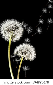 Close-up of dandelion isolated on the black background