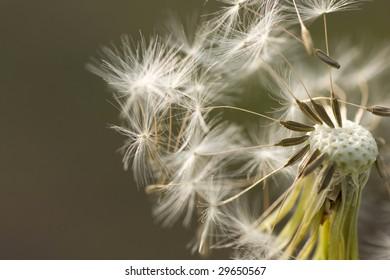 Closeup of dandelion. Dandelion loosing seeds.