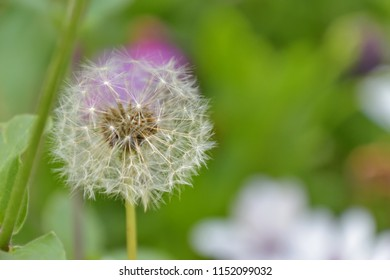 Close-up of a dandelion on a colorful background