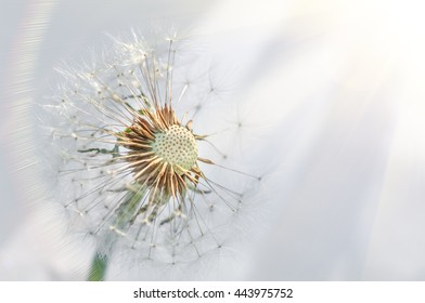 Closeup of dandelion on natural background, abstract