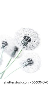 Close-up of Dandelion seed heads in soft-focus in the white background