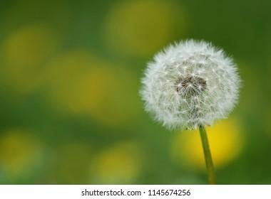 Closeup of Dandelion seeds outdoor