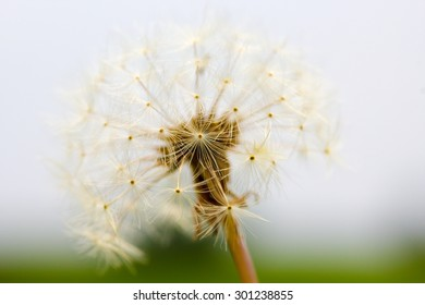 A closeup of a dandelion Taraxacum seed head.