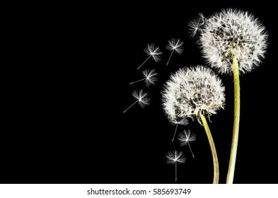 Close-up of dandelions isolated in the black background
