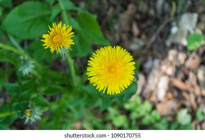 Closeup of dandelions  on the grass