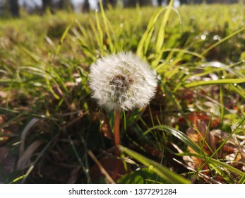 Closeup Dandilion Grassy