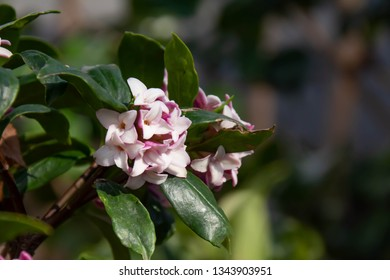 Close-up of Daphne in full bloom