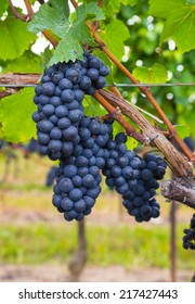 Closeup to dark blue Vineyard Grapes