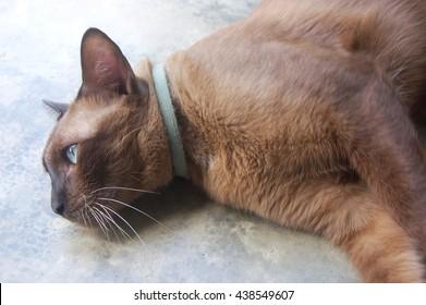 Closeup dark brown Siamese cat