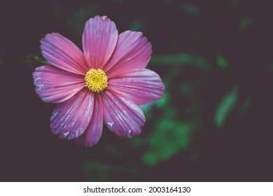 Nahaufnahme der dunkelrosa Blume