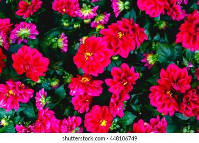 A closeup of dark pink flowers