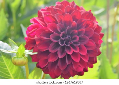 Close-up of dark red Dahlia with light green leaves backlit by sun