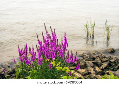 Closeup of dark violet flowering purple loosestrife plant growing at the banks of a Dutch river. In the foreground also grows a wild blackberry plant.