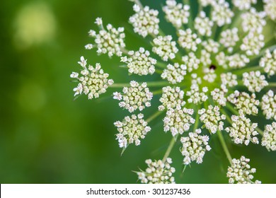 A closeup of Daucus carrota Queen Anne's Lace wildflower bloom.