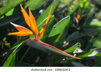 Closeup de flor Strelitzia Reginae. Flor ave do paraíso– imagens de bancos de imagens
