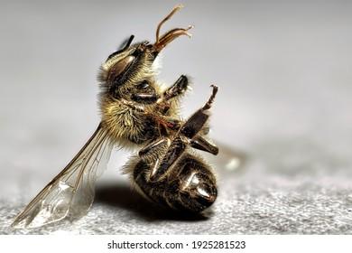 Nahaufnahme einer toten Biene mit vielen Details