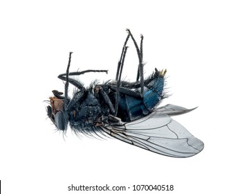 Close-up of a dead fly lying on its back.