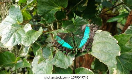 Closeup dead green butterfly. Emerald Swallowtail (Papilio palinurus)
