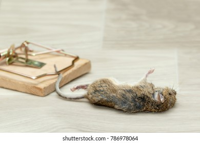 Closeup dead mouse caught in mousetrap on gray floor in house. Mice control concept.