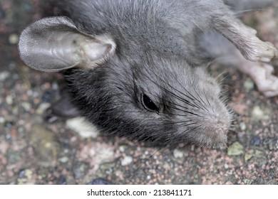 Closeup of a dead rat