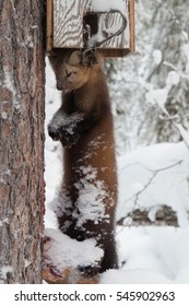 Closeup of a dead Russian Sable (Martes zibellina) valued for its fur, in an instant kill Conibear type spring trap on a tree in Siberian taiga in Yugra, the native land of the Khanty people.
