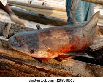 Close-up of a dead shark on a wooden dugout