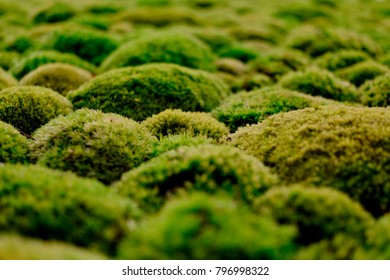 Close-up of decorative lichens humps. The shallow depth of fields and the angle, give these little plants the impression of a landscape with real hills.