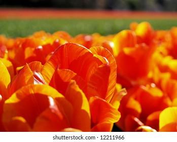 Close-up of a deep orange tulip field