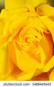 Closeup of a deep yellow rose