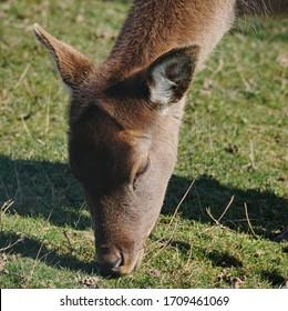 Closeup of a deer feeding