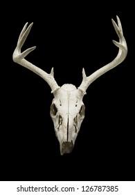 Close-up of deer skull displayed on black background.